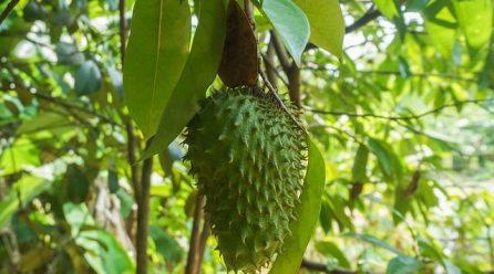 Le corossol : un fruit pour lutter contre le cancer ?