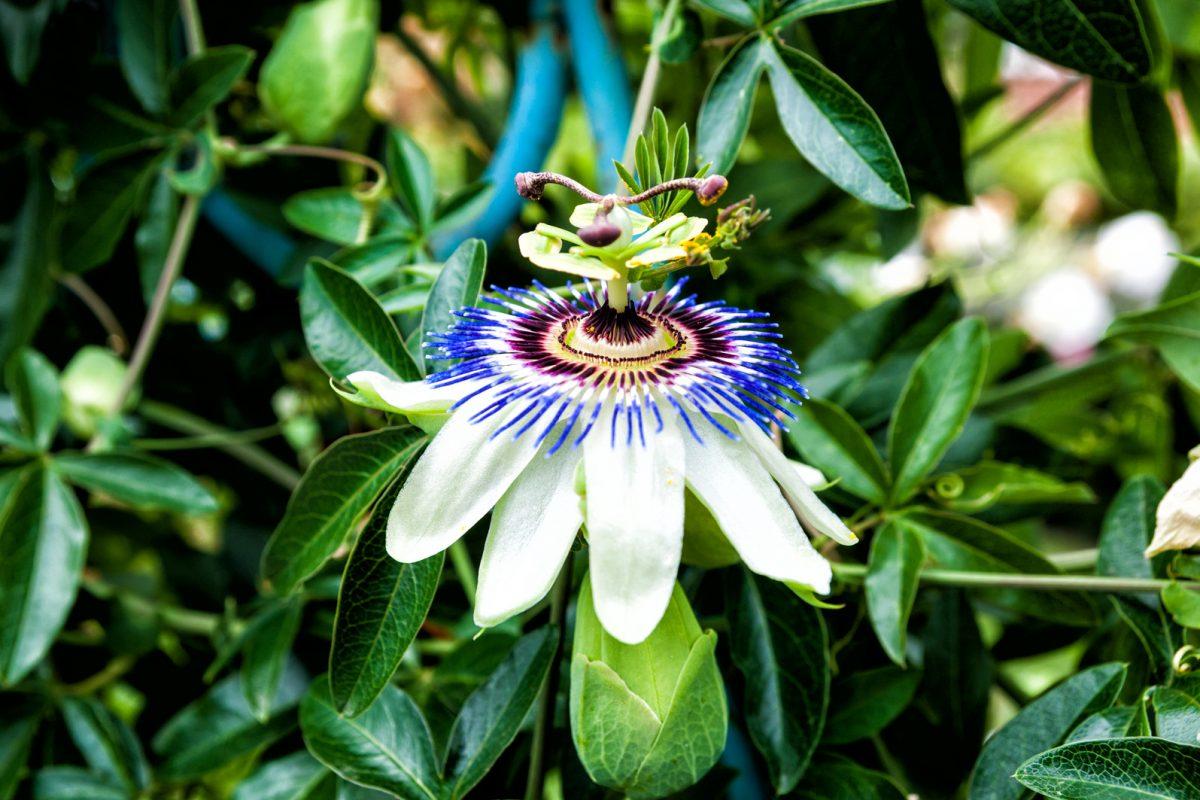 Passiflore et le passiflora composé son dérivé homéopathique