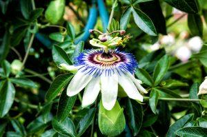 passiflora-fleur-passion